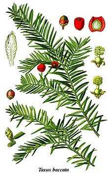 Тис: описание дерева, виды и сорта, посадка и уход, использование в ландшафтном дизайне