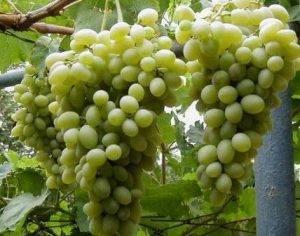 Виноград московский безукрывной. описание винограда московский безукрывной, особенности посадки и выращивания