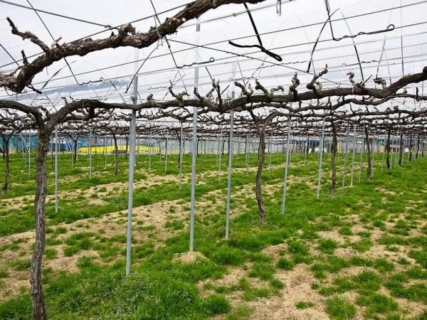 Шпалера для винограда своими руками — инструкция по изготовлению