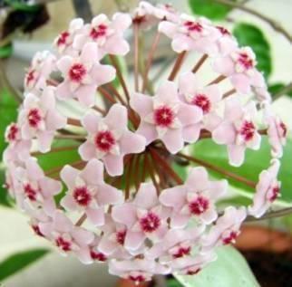 Хойя описание растения, родина цветка, почему желтеют листья, ядовита или нет?