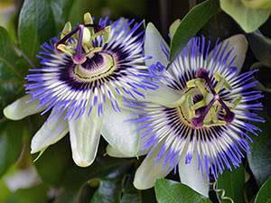 Пассифлора - посадка и уход в домашних условиях, фото цветка