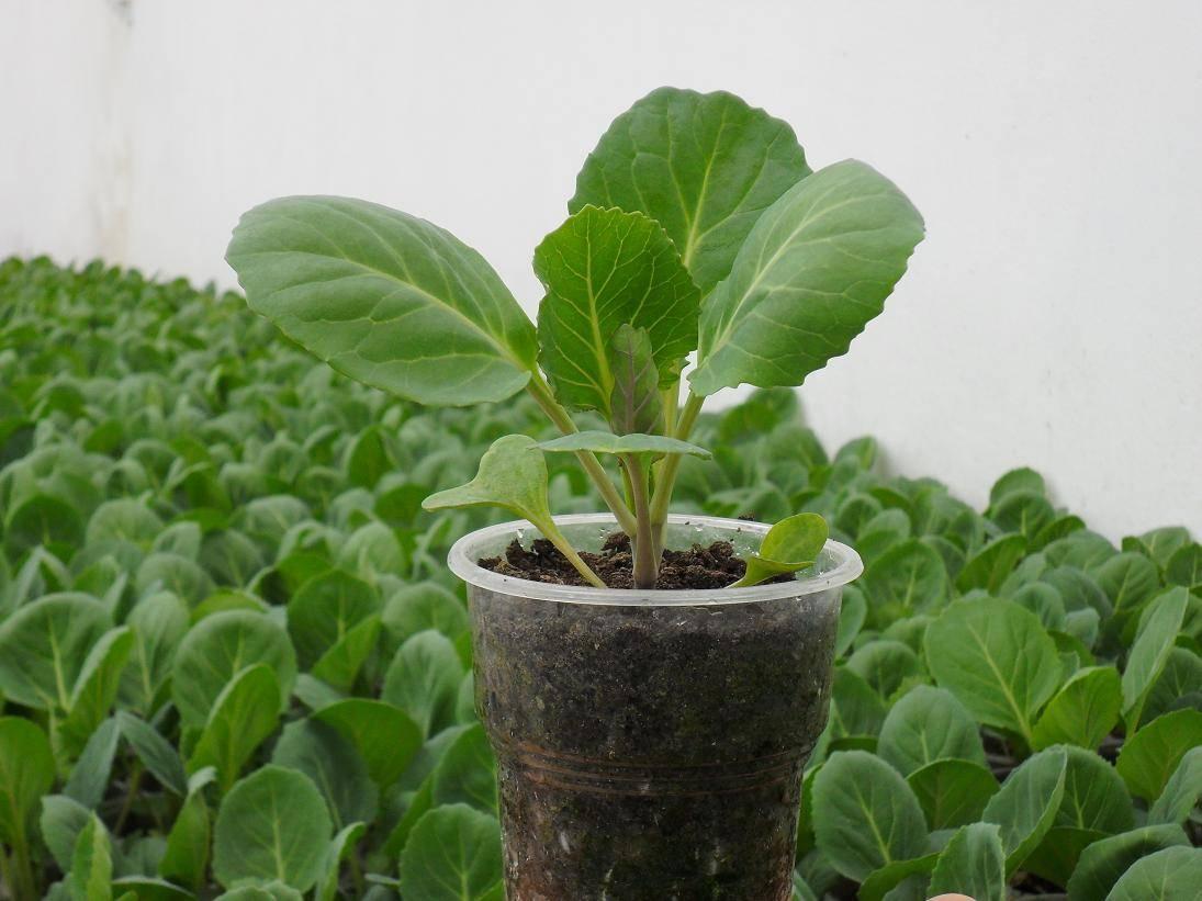 Выращивание рассады белокочанной капусты: хитрости огородника: новости, рассада, капуста, советы, сад и огород