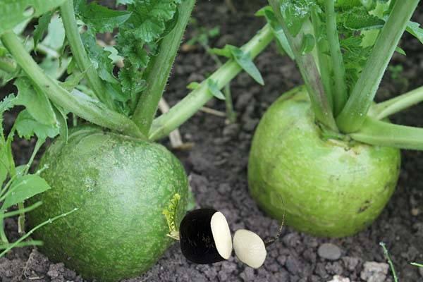 Как сажать редьку семенами в открытый грунт или в теплице: как правильно совмещать с другими культурами, когда срок посева, всегда ли весной, каков уход за овощем? русский фермер