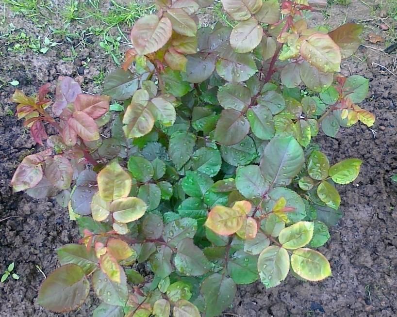 Почему у розы желтеют листья — причины и способы борьбы