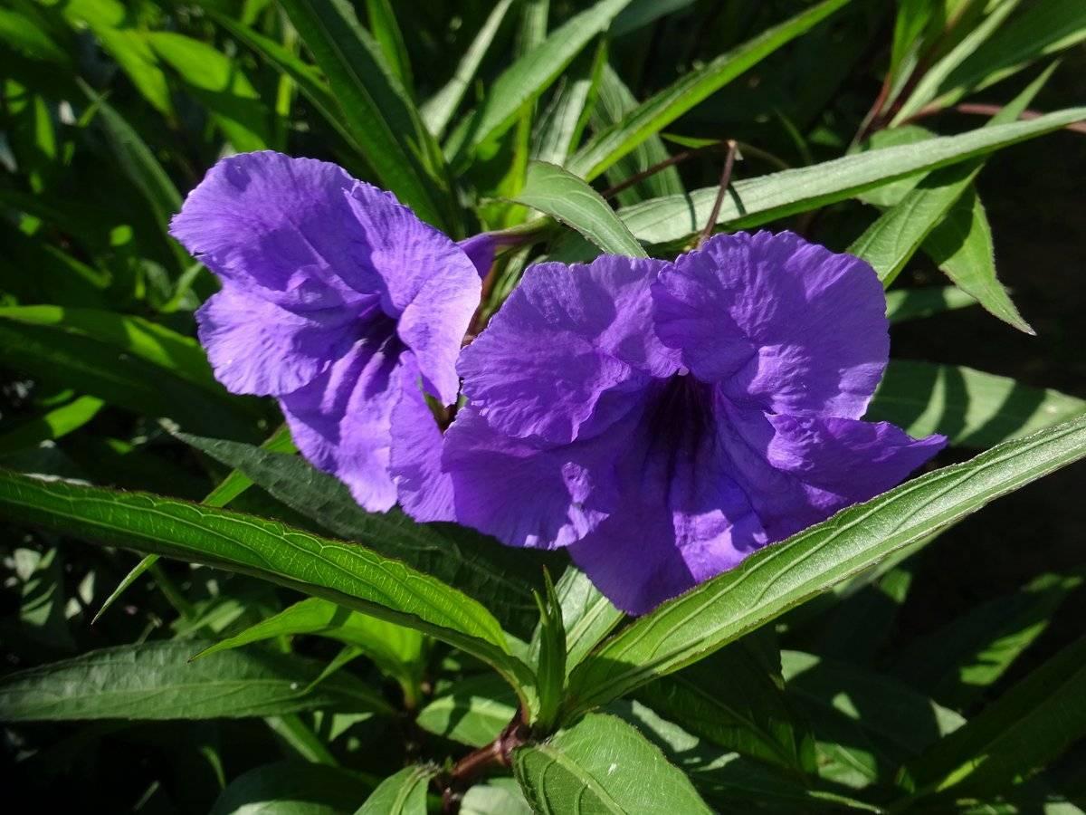 Эллегантная руэллия, узнайте больше о правилах выращивания