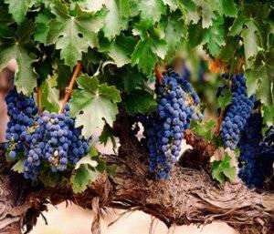 Чем опрыскивать виноград весной до распускания почек, а также после этого