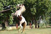 Лошадь индийской породы марвари