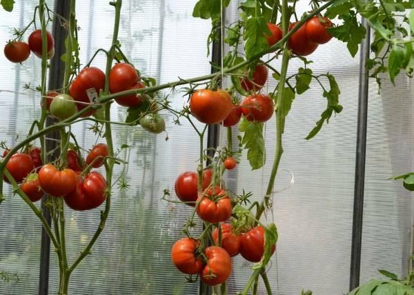 Томат бабушкин f1 - описание сорта гибрида, характеристика, урожайность, отзывы, фото
