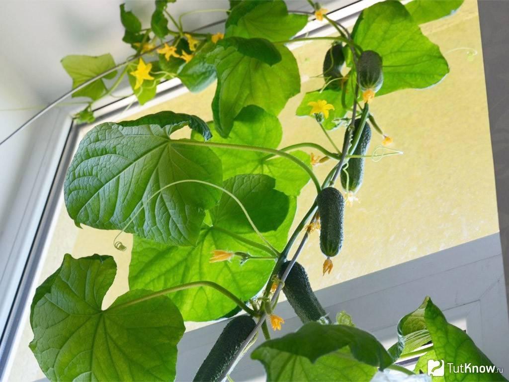 Чем подкормить огурцы на подоконнике: удобрения для огурцов, сроки внесения