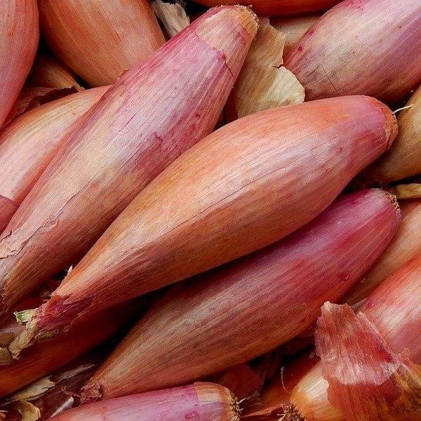 Лук-шалот – выращивание и уход в открытом грунте