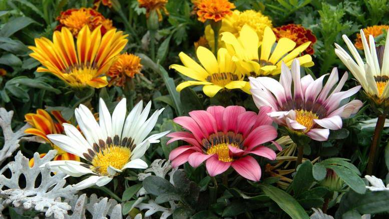 Гацания: выращивание и уход