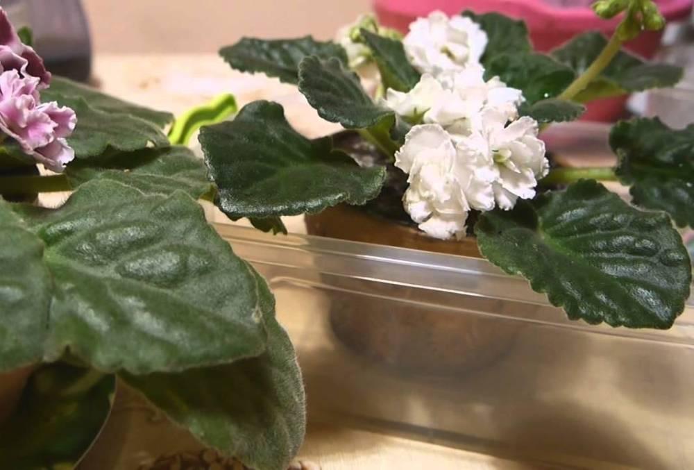 Как посадить фиалку из листа в домашних условиях в горшок, как правильно укоренить рассаду в земле (грунте), вермикулите, пакете и когда рассаживать деток: подробные фото и видео