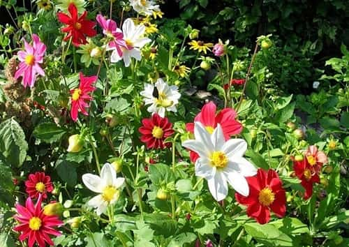 Однолетние георгины в дизайне сада. выращивание рассадой и семенами, уход за растениями