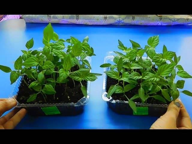 Выращивание рассады с кипятком