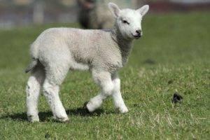 Ягненок – молодой детеныш овцы, описание, отличительные особенности
