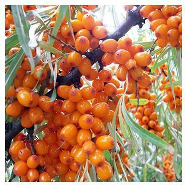 Облепиха алтайская: описание сорта, отзывы садоводов, фото