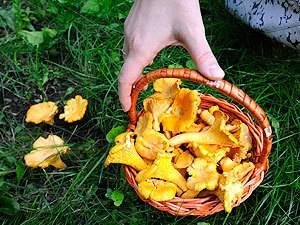 Грибы в карелии 2020: съедобные и ядовитые плоды, грибные места + карта фото
