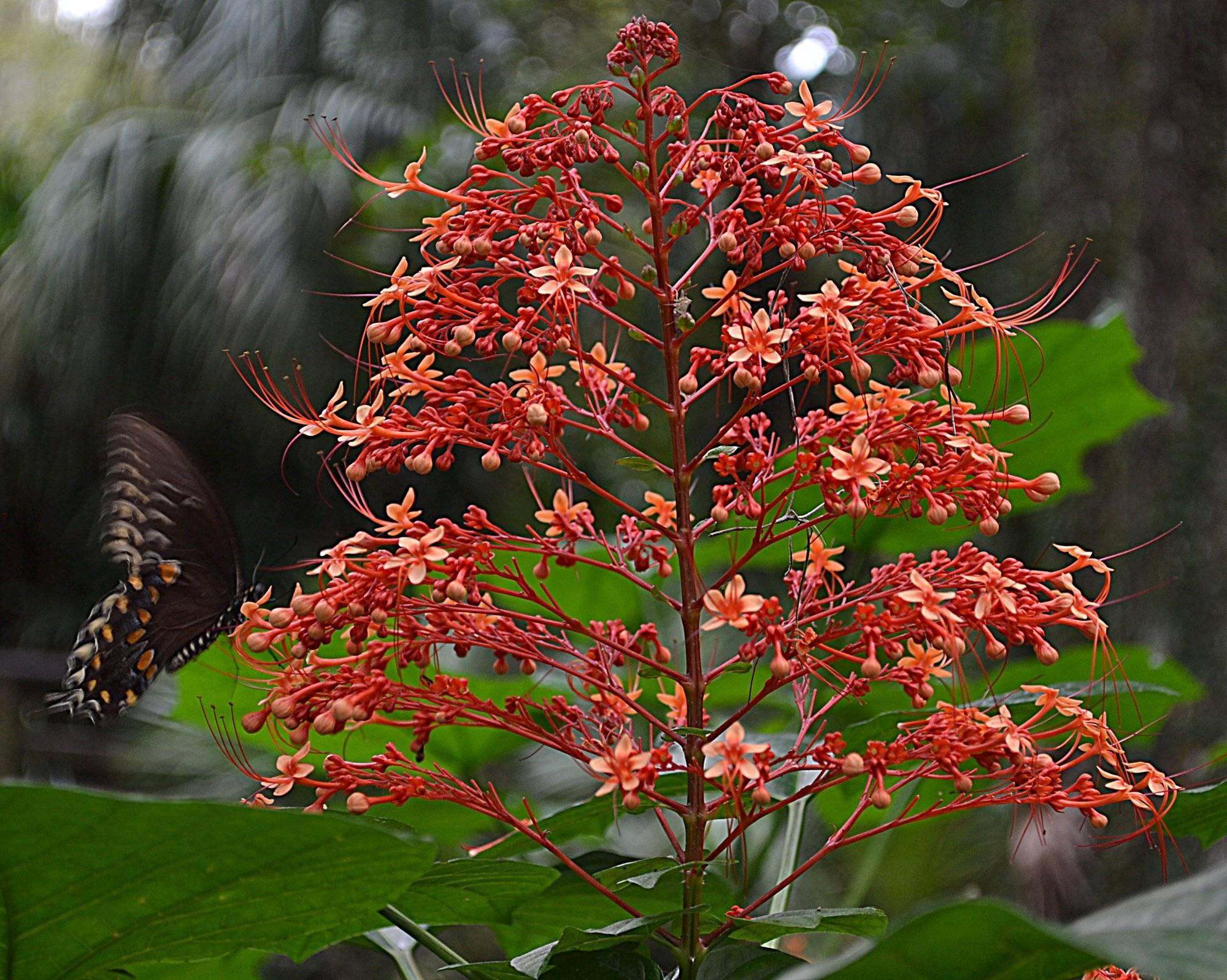 Растение с красивыми цветами необычной формы — клеродендрум: уход в домашних условиях, размножение