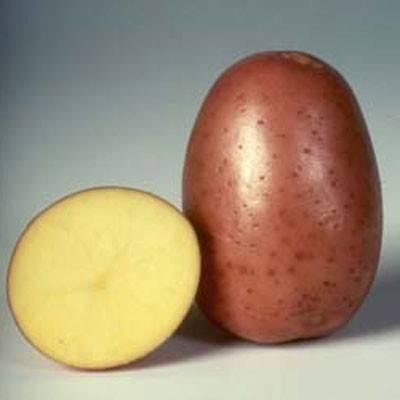 Картофель беллароза: рассказываем все нюансы