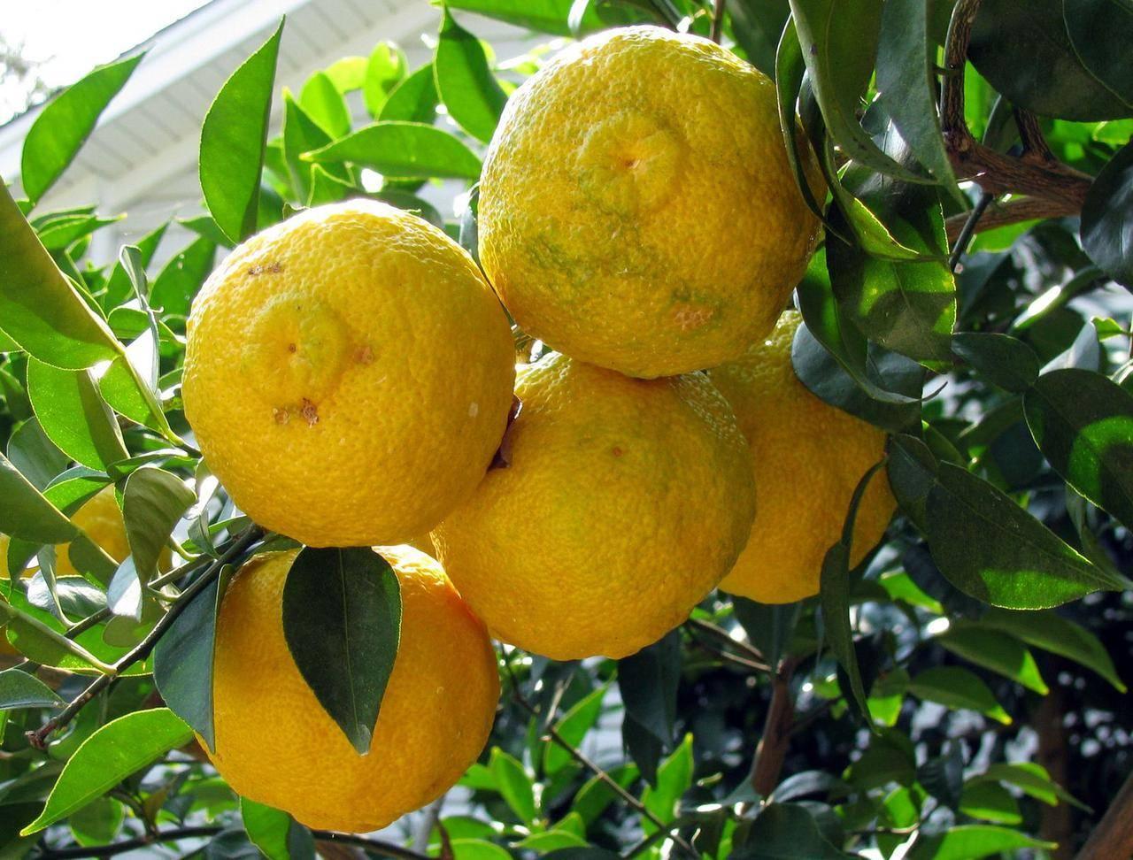 Юзу фрукт - юдзу