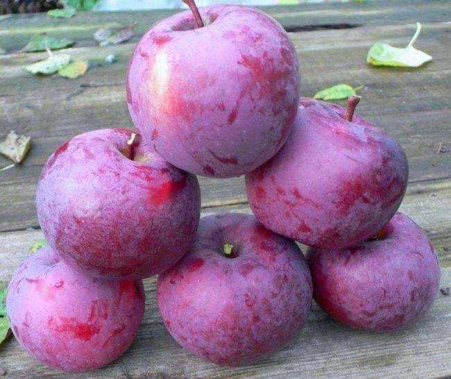 Обзор высокоурожайного сорта яблонь спартан