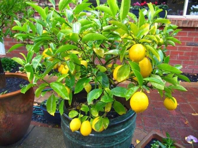 Пересадка лимона в новый горшок. как вырастить лимон из косточки в домашних условиях