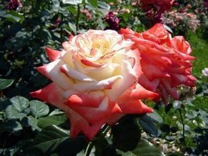 Наиболее ароматные сорта роз с фото и описанием наиболее ароматные сорта роз с фото и описанием