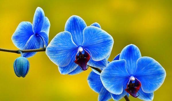 Голубая или синяя орхидея: выдумка или реальность