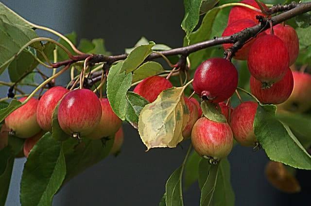 Разновидности яблонь китаек: красная, долго, керр, желтая, сливолистная и другие
