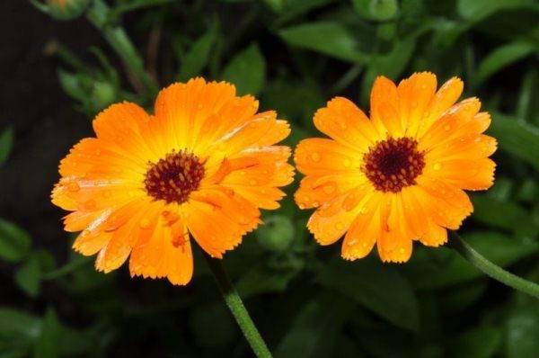 Календула: посадка и уход в открытом грунте, выращивание и размножение