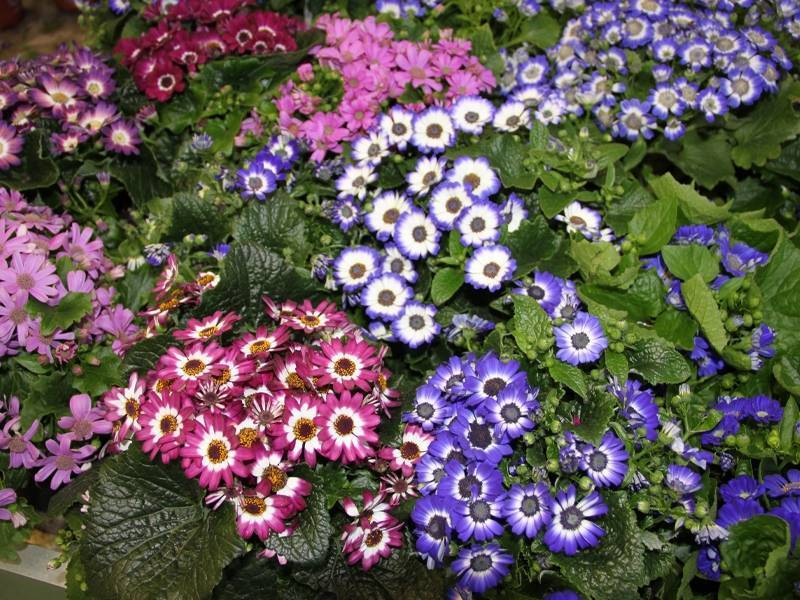 Цинерария комнатная (44 фото): выращивание из семян в домашних условиях, уход за цветком. как собрать семена? правильная посадка