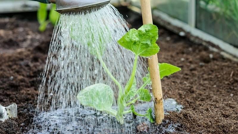 Особенности полива огурцов: как часто поливать в открытом грунте и теплице