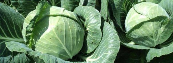 Капуста ринда: описание сорта, выращивание и уход