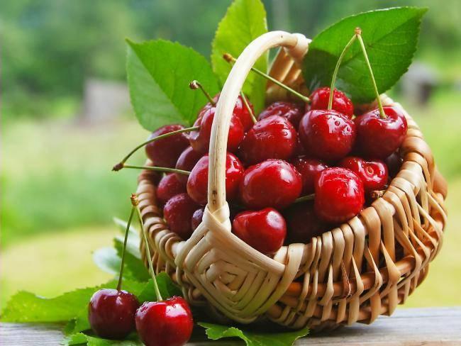 Агротехника выращивания вишни призвание