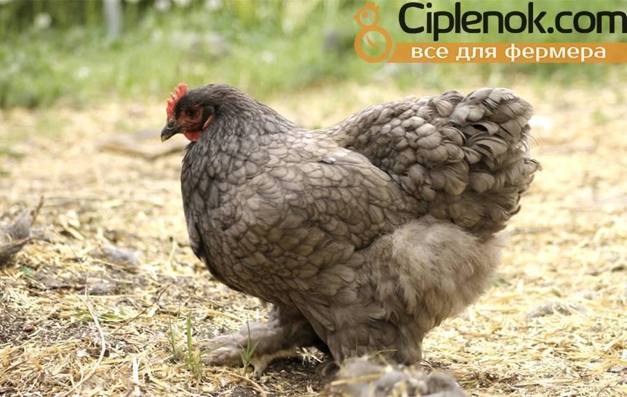 Порода кур кохинхин: описание, виды, топ правила содержания птиц