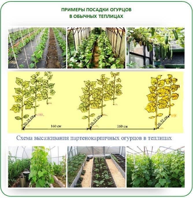 Лучшие сорта огурцов для урала: посадка и выращивание в теплице и открытом грунте