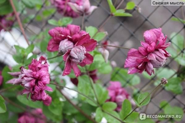 Клематис пурпуреа плена элеганс: описание сорта и группа обрезки, выращивание и уход
