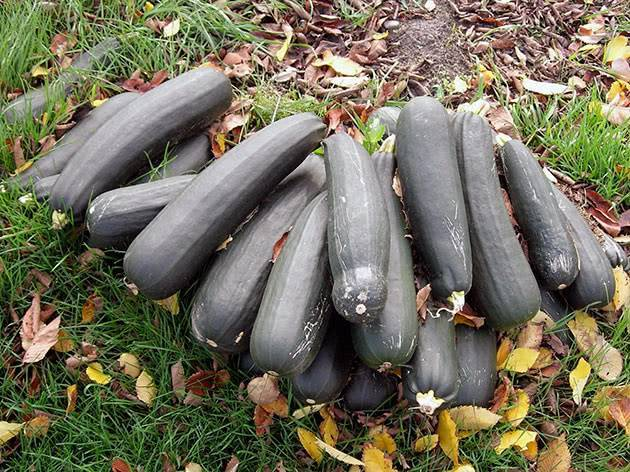 Полив кабачков в открытом грунте