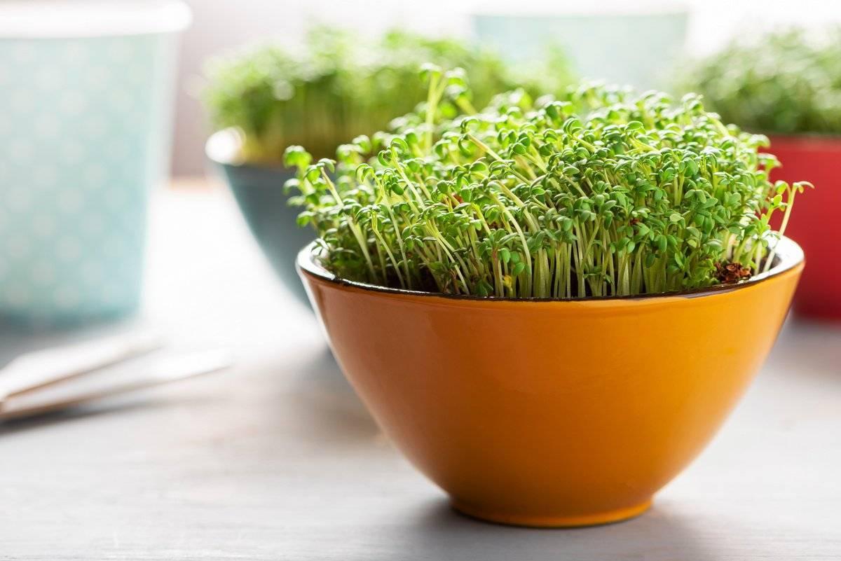 Ростки брокколи: полезные свойства, как вырастить проростки