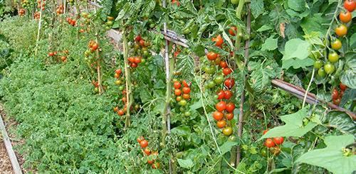 Что сажать после помидор в теплице, открытом грунте? после чего сажать помидоры, таблица севооборота.