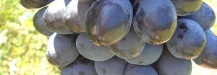 Виноград гала, описание сорта: посадка и уход