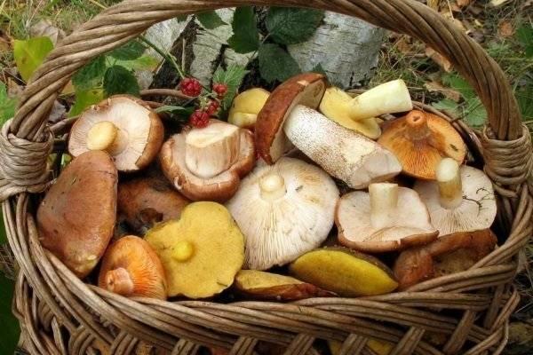 Съедобные грибы — описание и фото, отличия от несъедобных грибов.   cельхозпортал