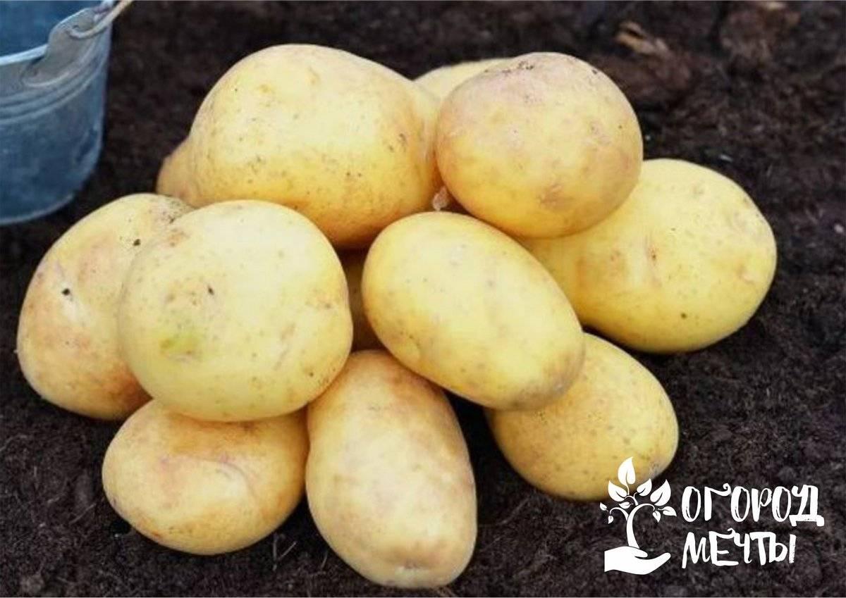 Подготовка картофеля к посадке весной когда доставать чем обработать пере посадкой
