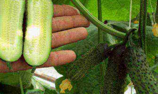 Неприхотливый гибрид огурцов «бидретта f1»: советы по культивированию
