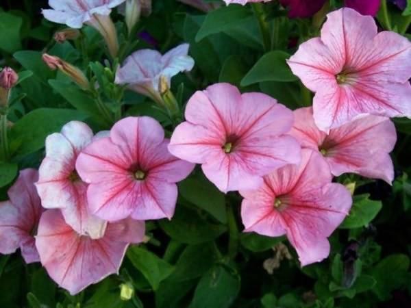 Петуния грандифлора: особенности, виды и выращивание
