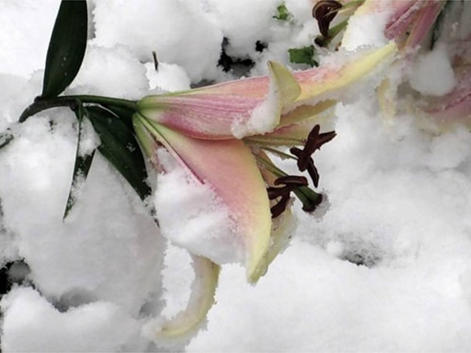 Подготовка лилий к зиме – время обрезки, правила хранения луковиц