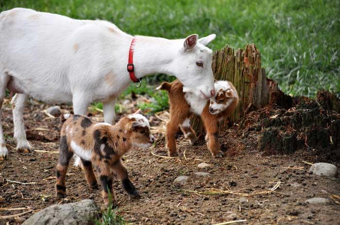 Камерунские козы: особенности породы
