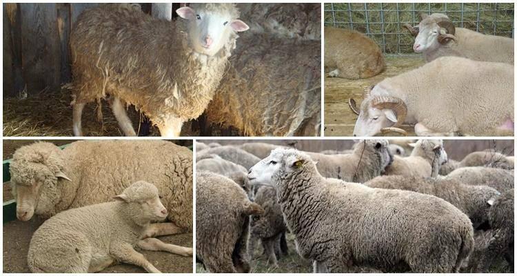 Суффолк овцы: описание породы и характеристики, особенности содержания
