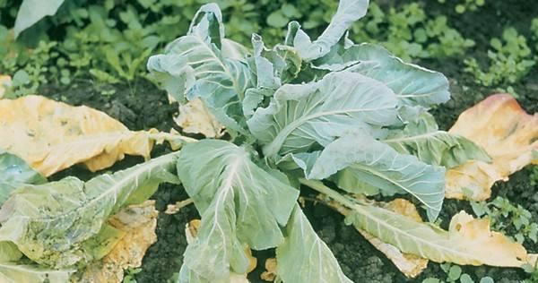 Скручиваются листья у томатов и перцев (причины и как устранить)