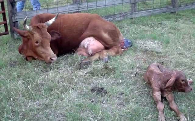 Что делать с коровой, которая не встает после отела